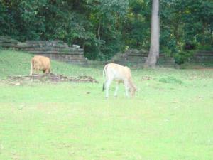 周りに牛が