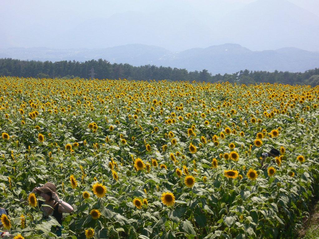 ひまわり畑(1)