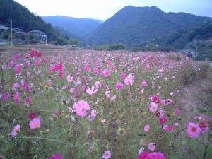 横瀬町のコスモス畑