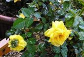 奇形の薔薇