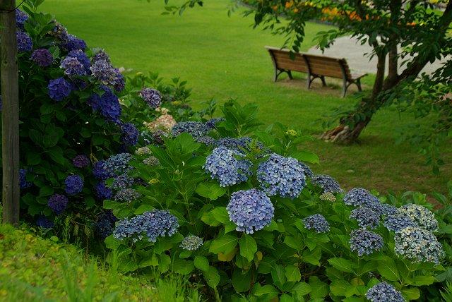 紫陽花の咲く公園