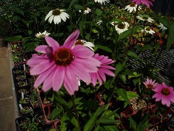 エキナセアが花盛り